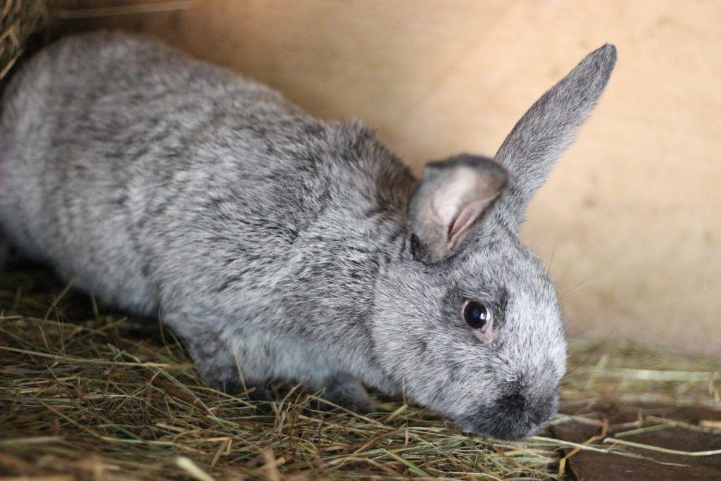 порода кроликов серебро с фото и описанием применение