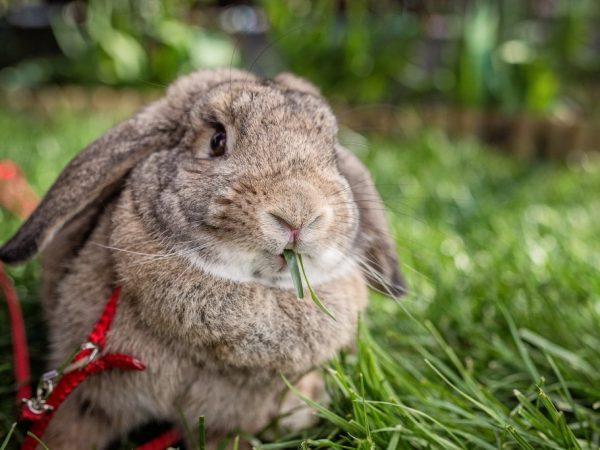 Как приучить кролика к шлейке