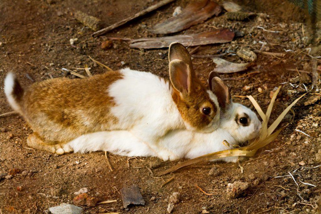 Случка и спаривание кроликов 🐰 возраст, советы, проблемы