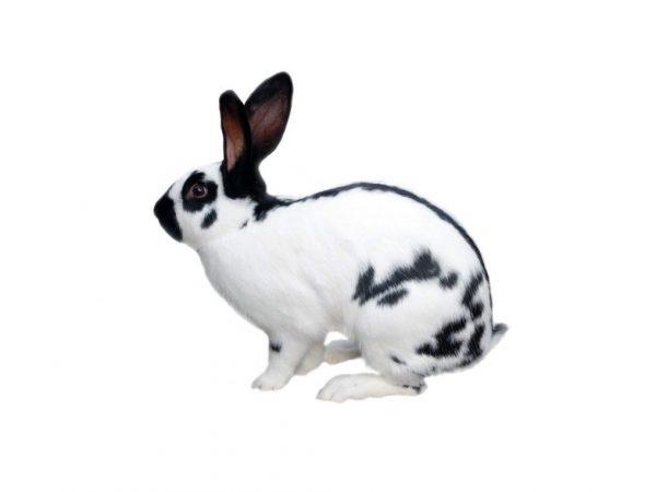 Описание кролика Строкача