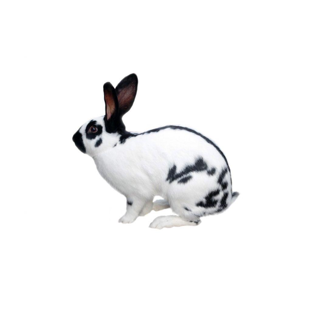 Немецкий пестрый великан строкач, кролики породы строкач описание