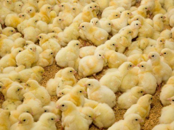 Уход за суточными цыплятами