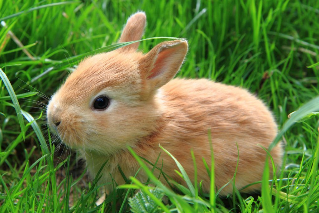 Чем можно обработать уши кролика