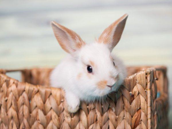 Вакцина Раббивак V для кроликов