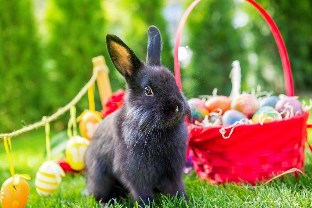Описание венского голубого кролика