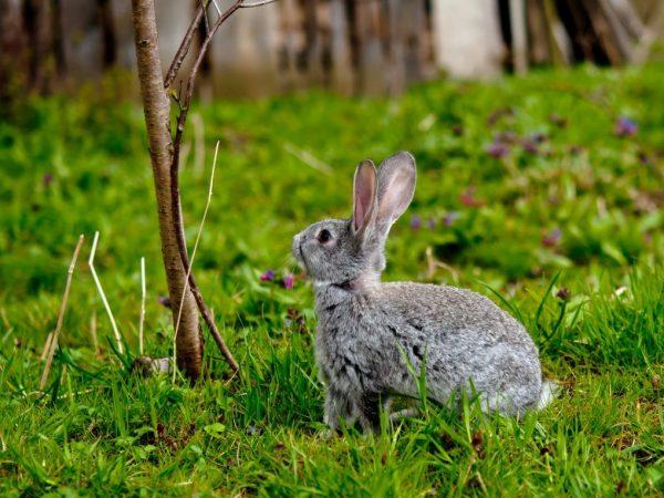 Можно ли давать кроликам ветки облепихи
