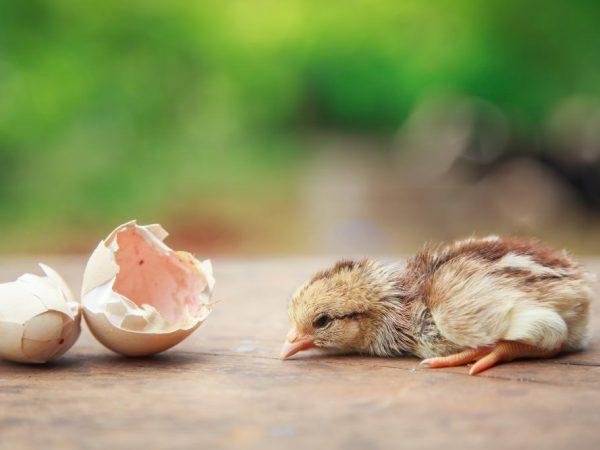 Вылупление цыплят из яйца