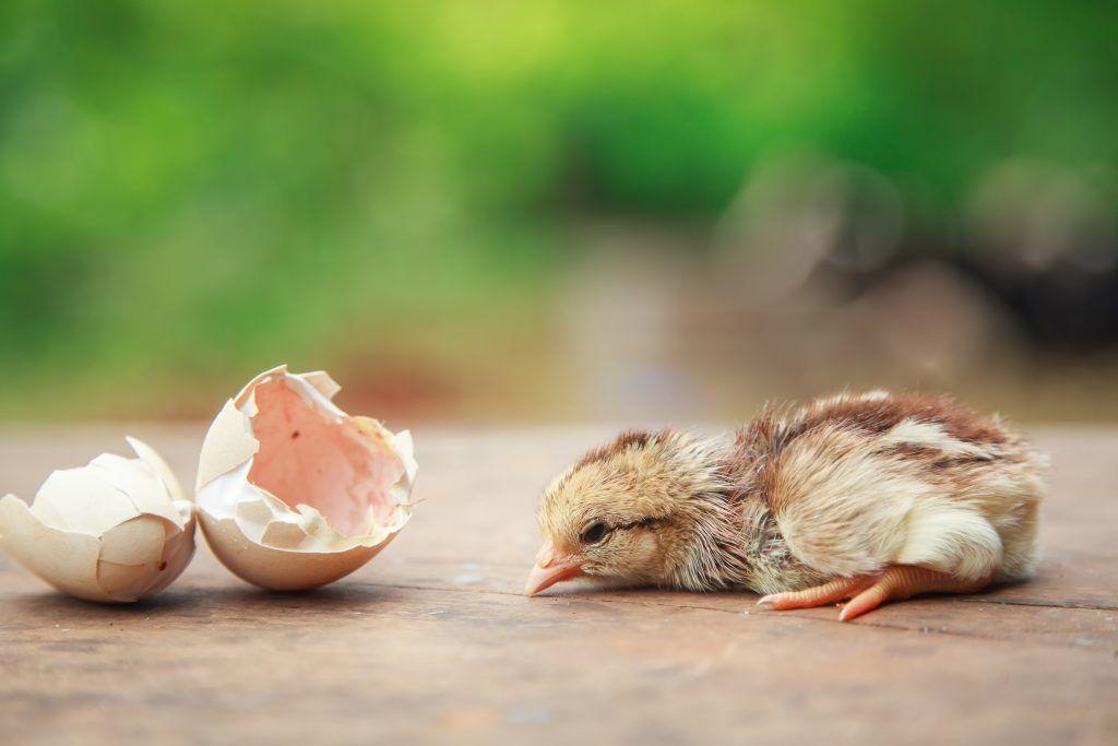 Как помочь цыпленку вылупиться из яйца
