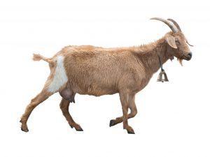 Вымя у козы