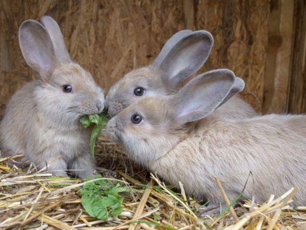 Форма заболевания кролика