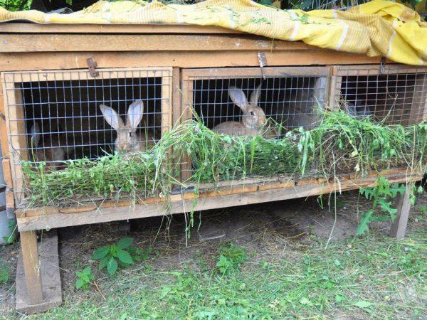 Разведение кроликов дома