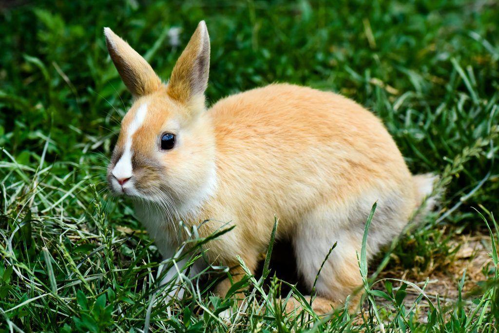 У кролика вздулся живот — что делать? Методы лечения и профилактики метеоризма у кроликов