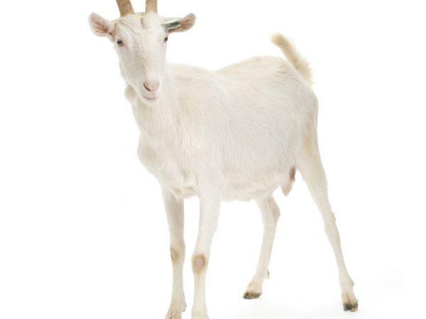 Изучите продукты питания для данных коз