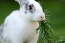 Зубы кролика