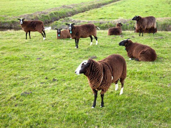 Порода овец Цвартблес
