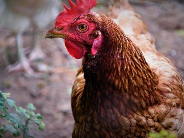 Порода курицы Иза Браун