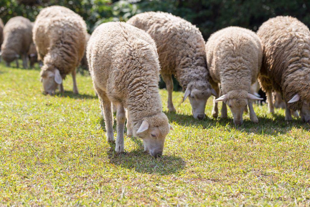 Северокавказская мясошерстная порода овец