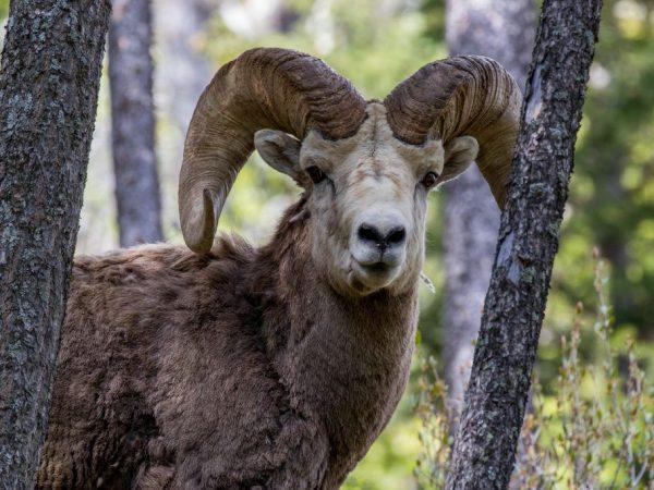 Характеристика Алтайского горного барана
