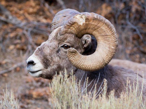 Бараны Алтайской породы отличаются массивными рогами