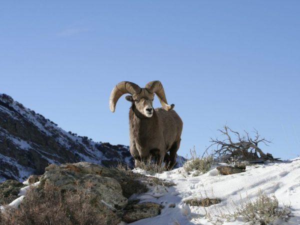 Места обитания горного Алтайского барана