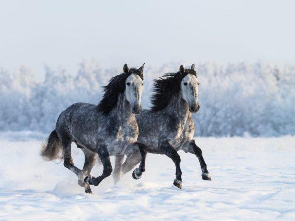Снится два коня