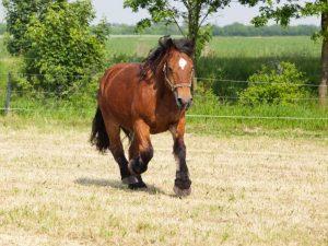 Лошадь Арденской породы