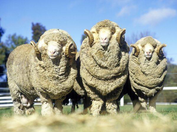 Тонкорунная овца шерстно-мясного типа