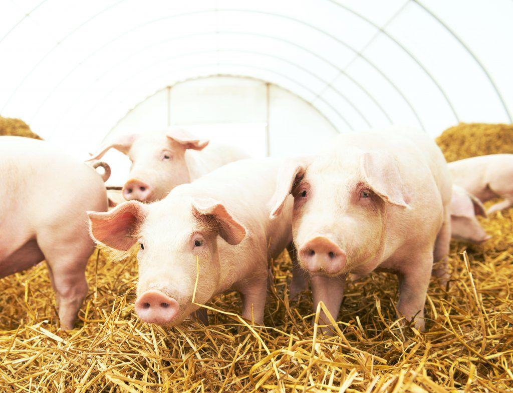 Бизнес план свинофермы расчеты бизнес план дом будущего
