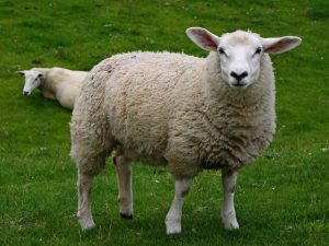 Симптомы болезней овец