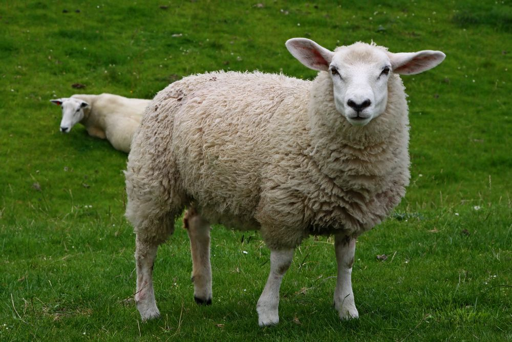 Чем болеют овцы и как их лечить