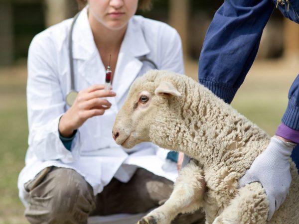 Вакцина может помочь вылечить овцу