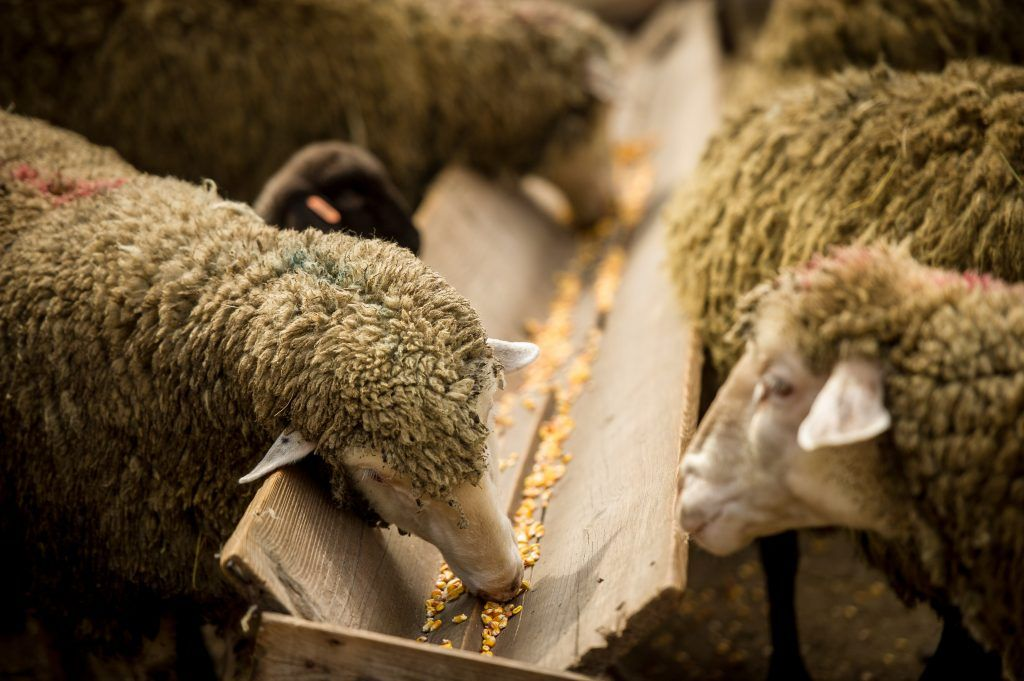 Необходимо обеспечить овцу витаминами