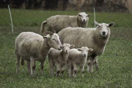 Инфекция у овец