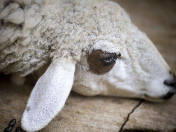 Овцы тяжело переносят сырость и повышенную влажность
