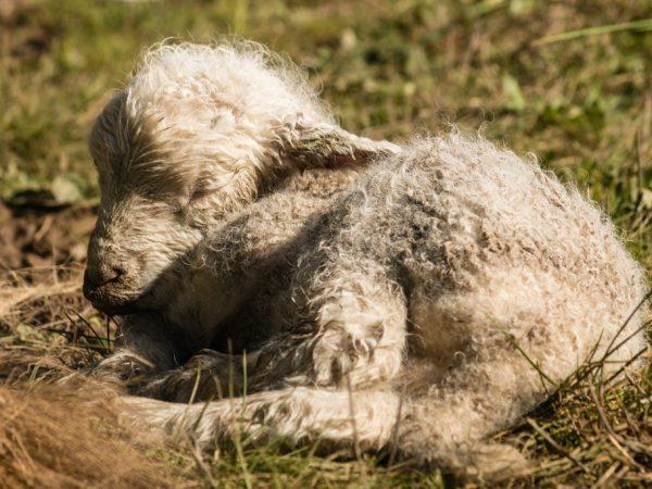 Профилактика и лечение ценуроза овец