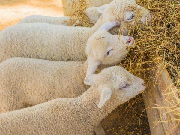 Ценуроз может проявиться после контакта с травой, сеном и соломой.