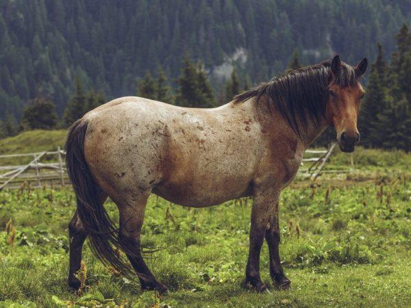 Гнедая чалая лошадь
