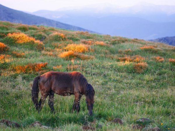 Чалая лошадь каштанового цвета