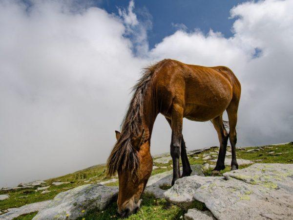 Рыжая лошадь чалой масти