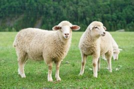 Характеристика овец цигайской породы
