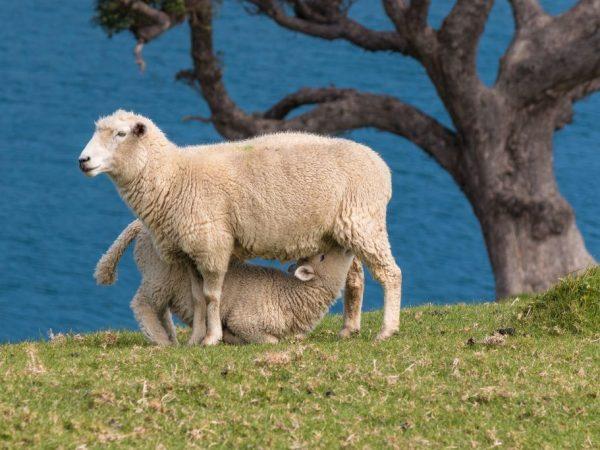 Продуктивность Цигайской породы овец
