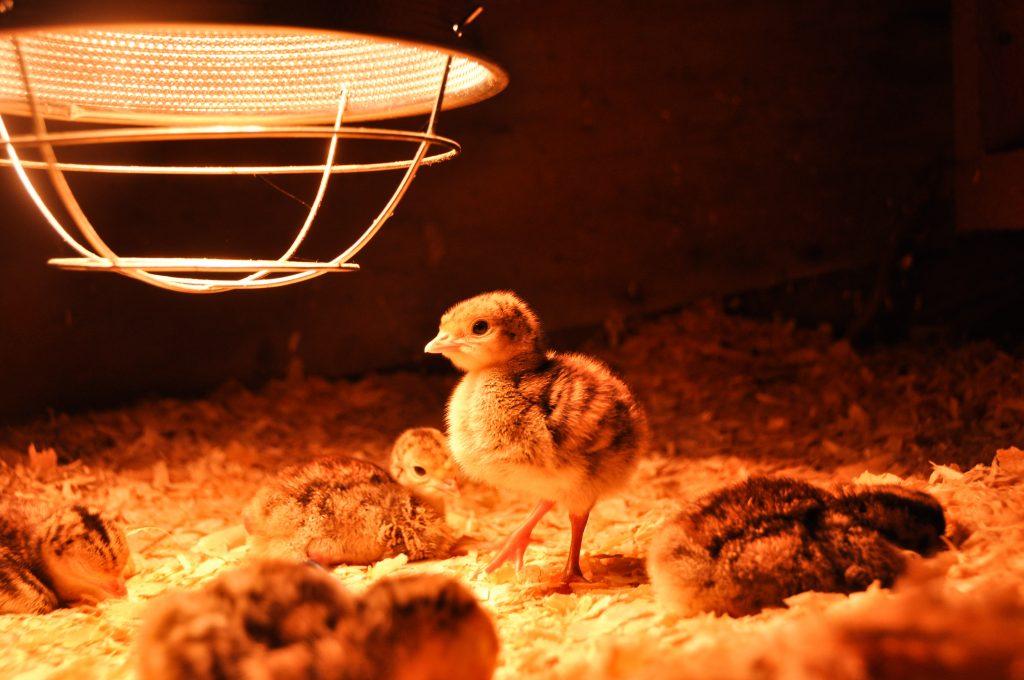 Содержание индюшат в домашних условиях для получения здорового потомства