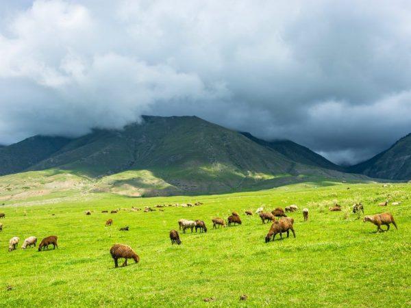 Характеристика Эдильбаевской породы овец