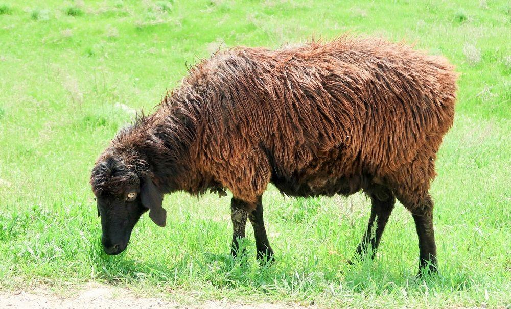 Внешний вид Эдильбаевской породы овец
