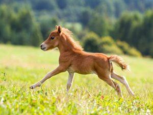 Описание лошади фалабелла