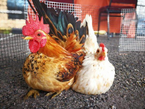 Использование фуразолидона для цыплят