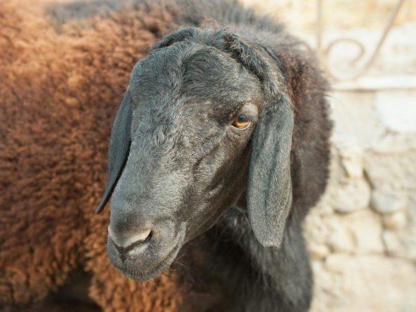 Характеристика овец и баранов Гиссарской породы