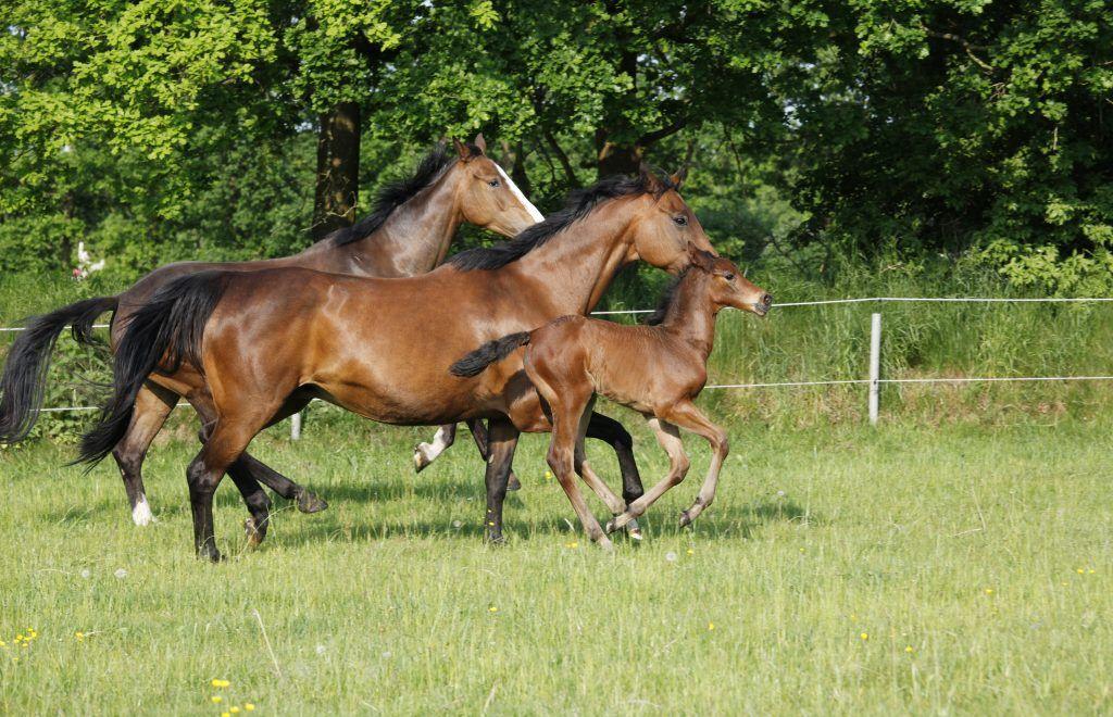 Лошади Голштинской породы энергичны и послушны