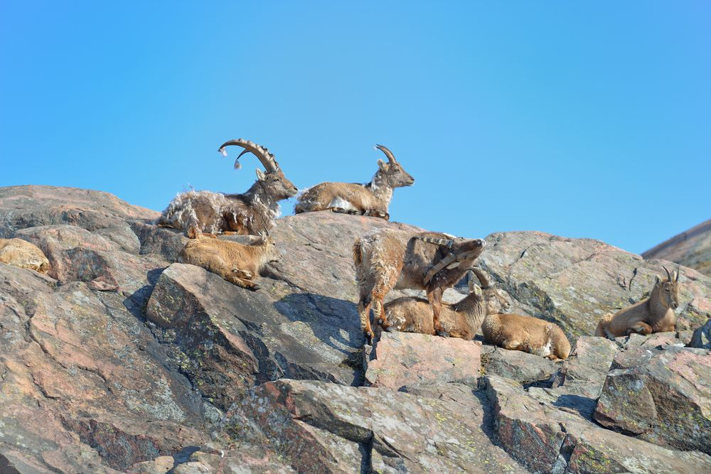 Среда обитания горного барана