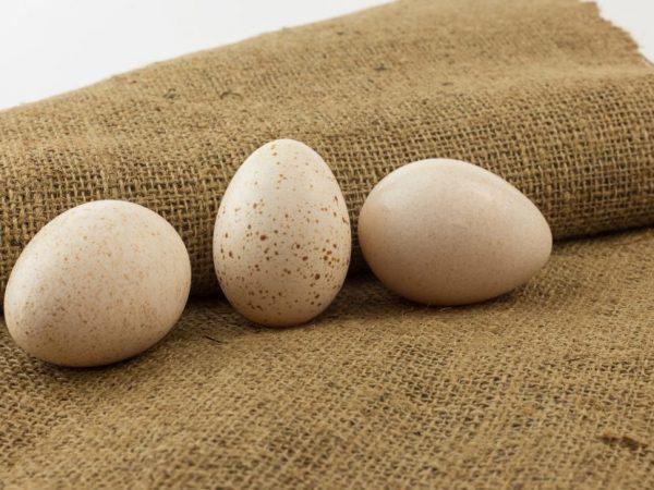 Особенности инкубации индюшиных яиц